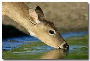 DeerDrinking55071